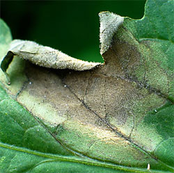 Late blight lesion on tomato leaf.  (Meg McGrath photo)
