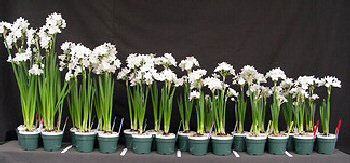 From leggy to compact, paperwhites from Erin's experiment.