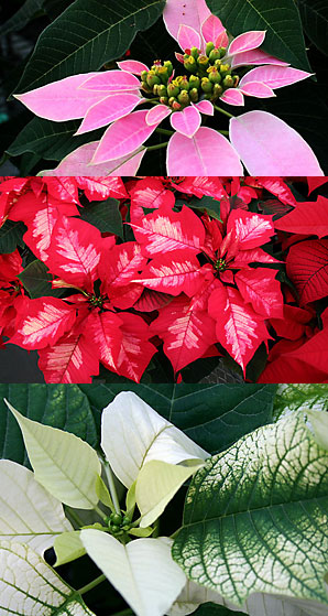Poinsettias ready for the Hortus Forum sale.