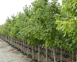 In plantings like these two-year-old nursery trees, wireless soil moisture sensors will feed information to computers that automatically determine how much water and fertilizer to deliver to the plants via the irrigation system.
