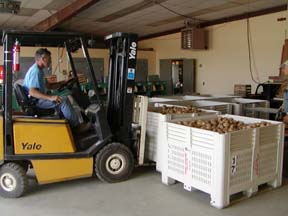 Steve McKay, manager at Cornell's Homer C. Thompson Research Farm in Freeville, takes up a bin of potatoes for transport to the Food Bank of the Southern Tier.