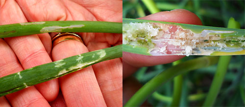 'Window paning' in onions (left) and damage to garlic leaves (right).  Photos by Amy Ivy.