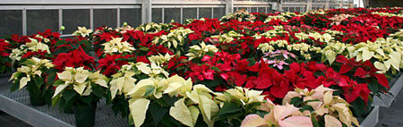 Poinsettias at the Kenneth Post Lab greenhouses