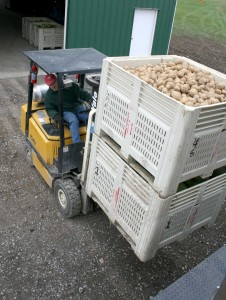 Thompson Vegetable Research Farm manager Steve McKay loads bins of potatoes bound for Food Bank of the Southern Tier