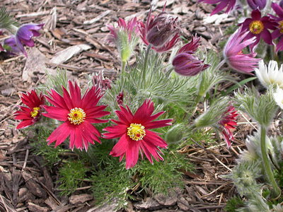 Foliage of Pulsatilla vulgaris 'Papageno' provides cover after the bulb foliage fades.