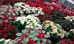 Poinsettias at Ken Post Lab greenhouses