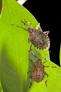 The brown marmorated stink bug (Halyomorpha halys) is eating crops and infesting homes in the Mid-Atlantic region. It has been confirmed on Long Island and in the Hudson Valley. Adult (top) and fifth-instar nymph (bottom).   Click image for larger view.  USDA photo by Stephen Ausmus.