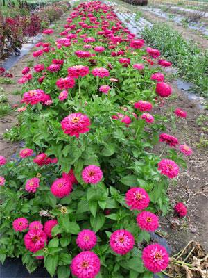 Zinnia 'Uproar Rose'