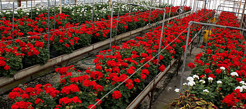 Graduation geraniums at the ready in KPL greenhouse.