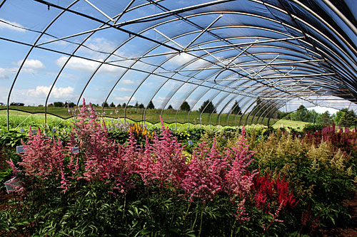 Shade-loving perennials in shade house at Bluegrass Lane.