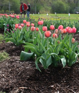 'Ad Rem' tulips (foreground) planted on top of tilled soil and covered with mulch. Both varieties used in the study continued to bloom well in the third spring after planting. (Click for larger image.)