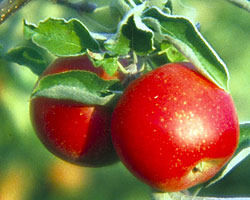 Buy apples, fruit and more at Cornell Orchards.