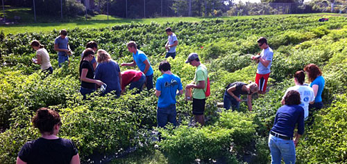 Students rogued off-type and diseased plants and collected fruit to test how spicy they are.
