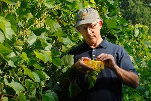 Bruce Reisch pollinates grapes.