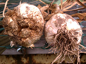 Garlic damaged by the stem and bulb (bloat) nematode (Ditylenchus dipsaci) on the left and a healthy bulb on the right. Photo by Christy Hoepting.