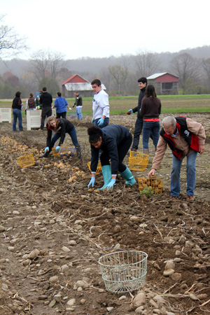 Robin Bellinder (right) and volunteers harvest potatoes for food aid programs at the Homer C. Thompson Vegetable Research Farm, Freeville, N.Y.