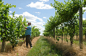 Senior extension associate Tim Martinson helps growers and wineries in the Finger Lakes region cope with variable weather. Robyn Wishna/University Photography.