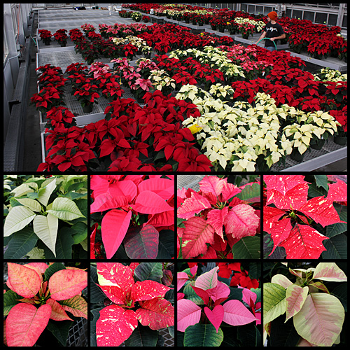 Some of this year's varieties in the Hortus Forum poinsettia sale. (Click image for larger view.)