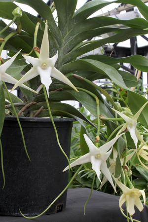The nearly foot-long nectaries (or floral tubes) found on Angraecum sesquipedale led Charles Darwin to predict the existence of a moth with a tongue long enough to pollinate it. Click image for larger view.
