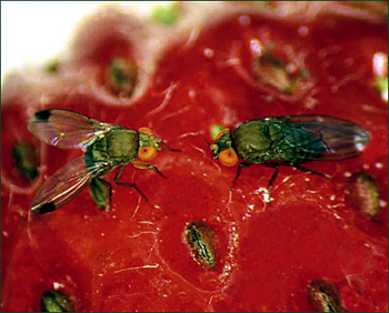 Funded projects include evaluating risks and management strategies to combat spotted wing drosophila, an invasive pest that threatens fruit and other crops.  Photo: Bev Gerdman, Washington State University.