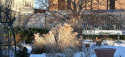 Ornamental grasses in midwinter sun, Minns Garden.