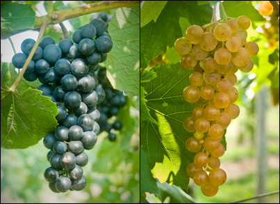 Introducing 'Arandell' (formerly NY95.0301.01, left) and 'Aromella' (formerly NY76.0844.24, right).  The new names of the grapes were announced February 7 at the Viticulture 2013 conference.