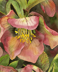 Hellebore watercolor by Marcia Eames-Sheavly