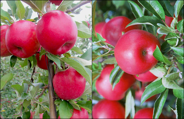 SnapDragon (left) and RubyFrost are two new apples from the breeding program of Susan Brown, Department of Horticulture (Photos: Kevin Maloney, Susan Brown)