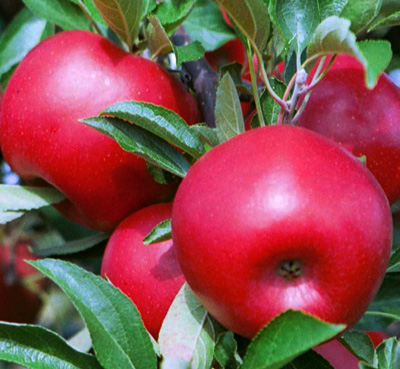 RubyFrost™ apples