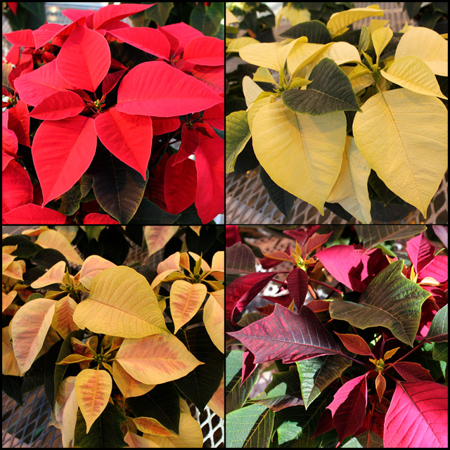 This year's poinsettia varieties (clockwise from upper left): red, white, burgundy/speckled, white/pink variegated. Click image for a larger view.