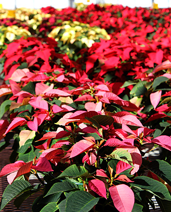 Poinsettias soak up the sun at the Ken Post Lab greenhouses.