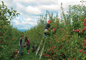TSF funding helped support and earlier project comparing organic and integrated fruit production systems at Cornell Orchards.