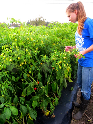 Research assistant Priscilla Thompson tends ornamental peppers.