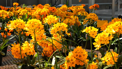 Ornithogalum research at KPL greenhouses