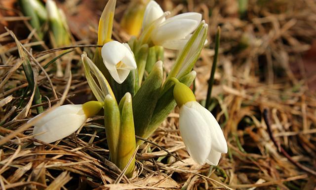 Snowdrops (Galanthus nivalis) bloom in Minns Garden on Tower Road.