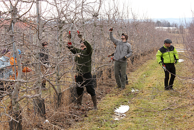 SoHo pruning at Cornell Orchards