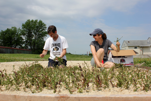 Michael Brown and Justine Vanden Heuvel planting cranberries.