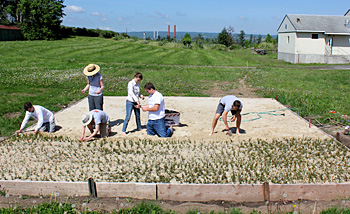 Cornell Orchards interns planting cranberries.