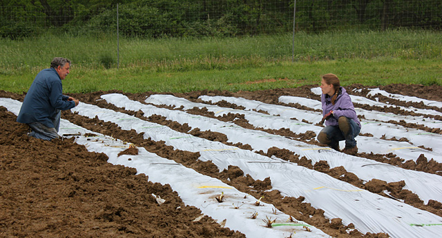 Marvin Pritts and graduate student Maria Gannett plant strawberries