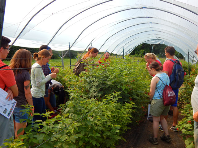 Cornell Orchards and Cornell Plantations interns sample  berries growing in high tunnels at the New York State Agricultural Experiment Station in Geneva, N.Y., June 30.