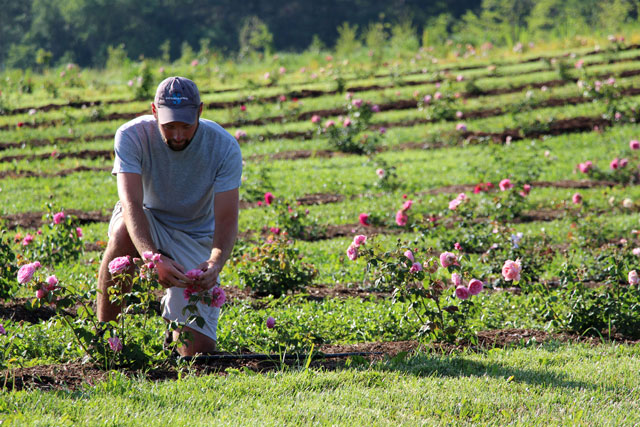 Technician Pat MacRae tends more than 600 varieties of David Austen roses in a newly planted five-year trial.