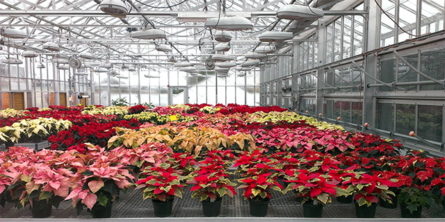 hofo-poinsettias