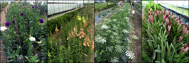 Lisianthus planting in the high tunnel, Snapdragon trial in late May, harvesting the Ammi field trial, Eucomis in high tunnel.