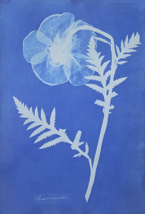 Poppy cyanotype