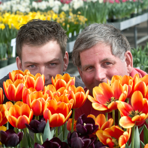 Cornell professor Bill Miller with tulips Photo/Robyn Wishna