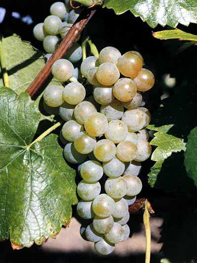 2015 ASHS Outstanding Fruit Cultivar 'Traminette'