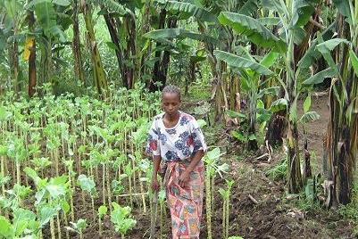 A farmer harvests sukuma wiki in Kenya.