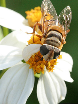 Syrphid Fly. Photo courtesy of David Cappaert, Michigan State University, Bugwood.org