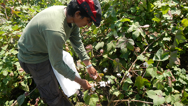 Vinay Bhaskar harvesting cotton  in India.