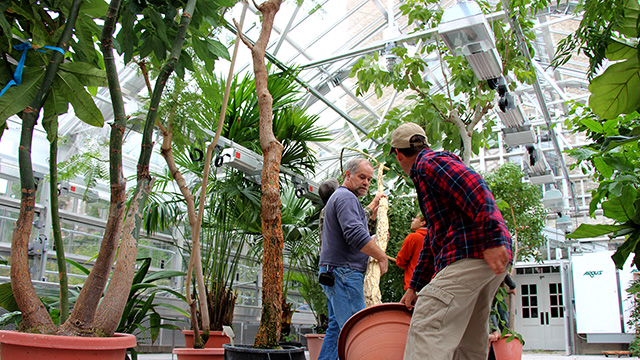 CUAES staff stage large specimens in the Student House section of the  new Liberty Hyde Bailey Conservatory Greenhouse in preparation for moving them into the Palm House.
